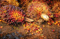 Palm oil is obtained from the fruit pulp of oil palms.