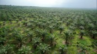 Oil palms as far as the eye can see – FONAP now seeks to achieve sustainable agricultural practice in this regard.